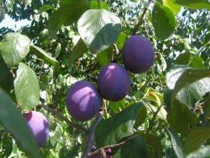 durata fermentare prune pentru tuica
